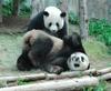 Captxin10101280856thailand_giant_panda_x